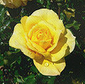 Rosa Gold Glow 2 with interference.jpg