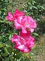 Rosa Handel 2018-07-08 4167.jpg