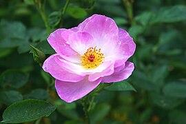 Rosa floribunda escapade.jpg
