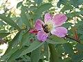 Rosa glauca inflorescence (17).jpg