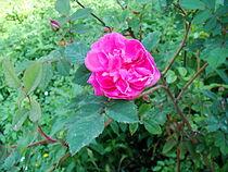 Rosa pendulina morletii plena morlett 1883.JPG