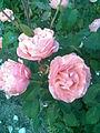 Rosales - Rosa cultivars 4 - 2011.07.11.jpg