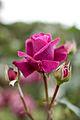 Rose, Intrigue.jpg
