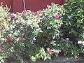 Rose. In my garden.jpg