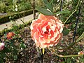 Rose au jardin du thabor septembre 2012 - panoramio.jpg