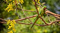Rose ringed parakeet at IIT Delhi.jpg