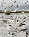 Royal Tern From The Crossley ID Guide Eastern Birds.jpg