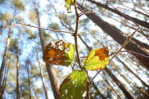 Rubus 0992.JPG