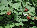 Rubus phoenicolasius 5449903.jpg
