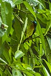 Ruby-cheeked sunbird.jpg