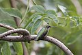 Ruby-throated hummingbird perching bent of the river (29342720032).jpg