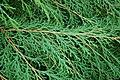 Russian Arborvitae Microbiota decussata Branches 3008px.JPG
