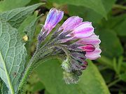 Russian comfrey close 800.jpg
