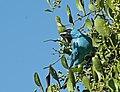 Saí-andorinha (Tersina viridis).jpg