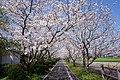 Sakura of Jofuku Cycle Road in Morodomi 02.jpg