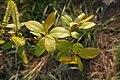 Salix reinii Tone River Maebashi1.JPG