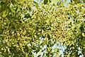 Salvadora persica by Dr. Raju Kasambe DSCN6600 (8).jpg