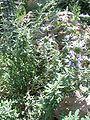 Salvia clevelandii - jim sage - desc-plant - status-rare.jpg