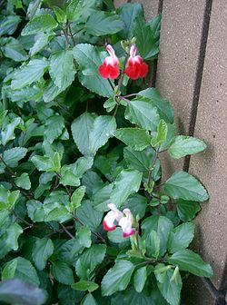 Salvia microphylla Hot Lips1.jpg