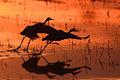 Sandhill cranes at Bosque del Apache NWR.jpg