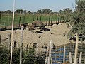 Sangliers au parc en Camargue.jpg