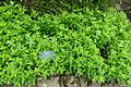 Saponaria officinalis - Fountains Hall - North Yorkshire, England - DSC00548.jpg