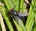 Sarcophaga species - Flickr - gailhampshire.jpg