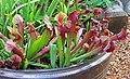 Sarracenia pitcher plant IMG 7972.jpg