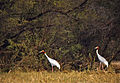 Sarus Cranes (Grus antigone) (20162603953).jpg