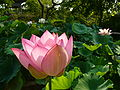Sawara-aquatic-botanical-garden,lotus,katori-city,japan.JPG