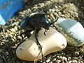 Scarab beetle on a rock.jpg