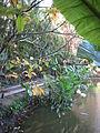 Schefflera actinophylla - Jardin d'Éden.JPG