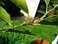 Schildläuse an Zitruspflanze.JPG