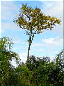 Schizolobium parahyba wikipedia la enciclopedia libre - Caesalpinia gilliesii cultivo ...
