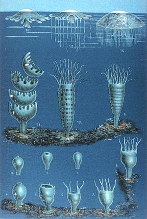"""Matthias Jakob Schleiden - Die Entwickelung der Meduse (""""The Development of the Medusæ""""), in Schleiden's Das Meer"""