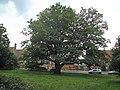 School oak - geograph.org.uk - 2476266.jpg