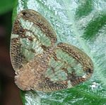Scolypopa australis adult on leaf.jpg