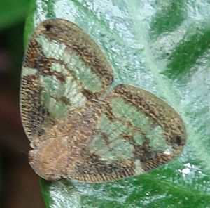 Scolypopa australis - Image: Scolypopa australis adult on leaf