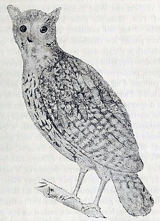 Mauritius owl - Illustration by Émile Oustalet based on the original painting by Paul Philippe Sanguin de Jossigny from 1770