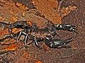 Scorpionidae - Heterometrus spinifer.JPG