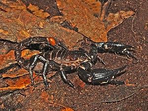 Heterometrus spinifer - Heterometrus spinifer