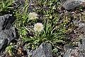 Scorzonera radiata (Asteraceae) (35594296412).jpg