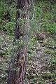 Scots Pine with pollen cones.jpg