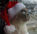 Scottish fold santa.jpg