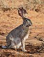 Scrub Hare (Lepus saxatilis) (32255587843).jpg