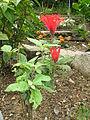 Scutellaria costaricana1.jpg