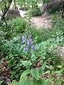 Scutellaria ovata.jpg