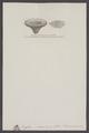 Scyphia reticulata - - Print - Iconographia Zoologica - Special Collections University of Amsterdam - UBAINV0274 007 04 0006.tif