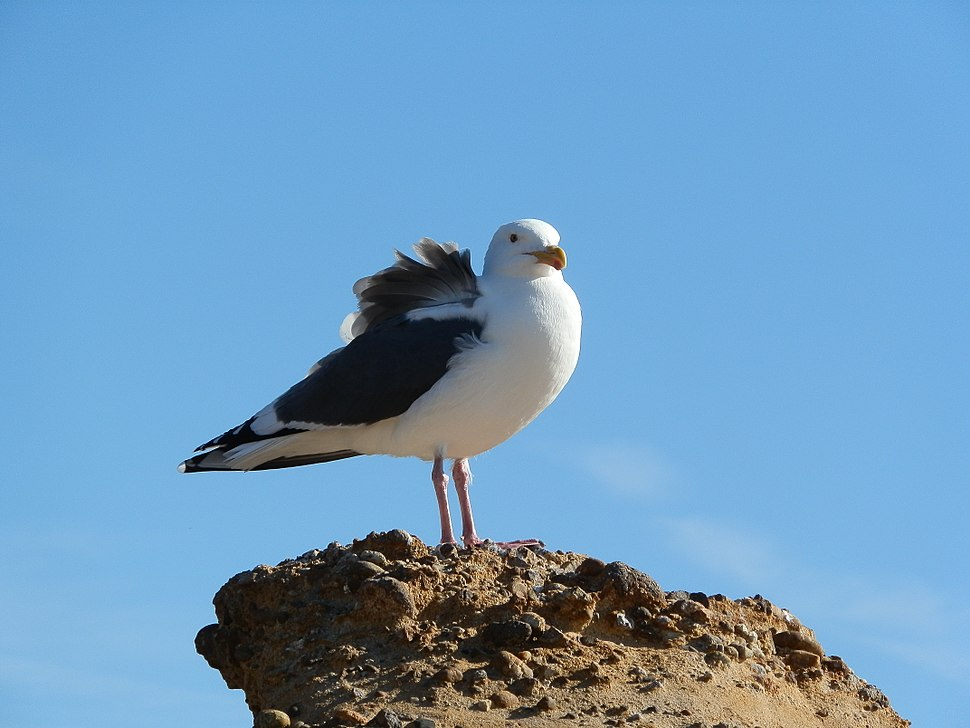 Sea Gull at Point Lobos State Natural Reserve, CA