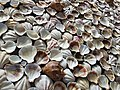 Seashells in Sevan (2).jpg